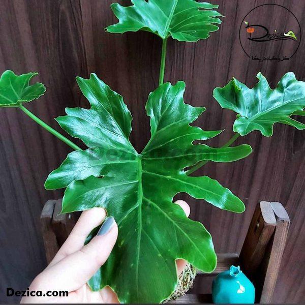 کوکداما-برگ انجیری-1-دزیکا