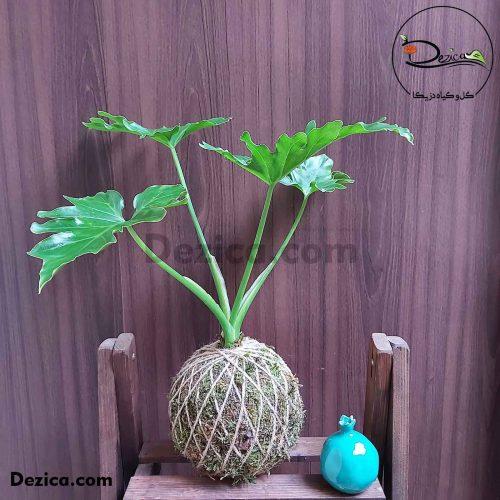 کوکداما-برگ انجیری-دزیکا