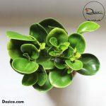 Kokedama-Peperomia obtusifolia-1-Dezica