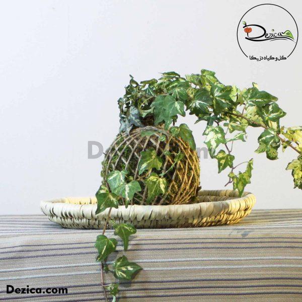 کوکداما-هدرا-2-دزیکا