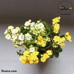 Kokedama-Kalanchoe blossfeldiana-4-Dezica