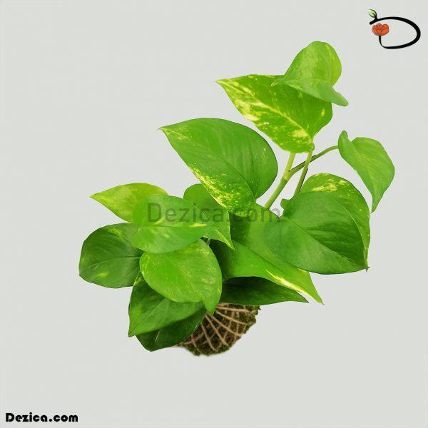 کوکداما-پتوس سبز-کوچک-دزیکا-2