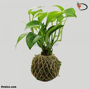 کوکداما-پتوس سبز-کوچک-دزیکا